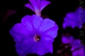 Bluelit