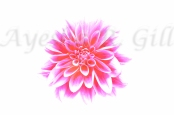 Airbrushed Dahlia