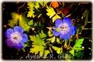 Geraniums in Love