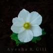 Anemone II