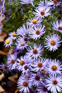 Aster Ice