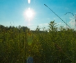 The Sun of The Great Swamp